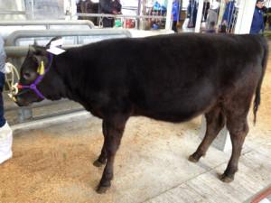 大量の牛が揃う! セリ市です。